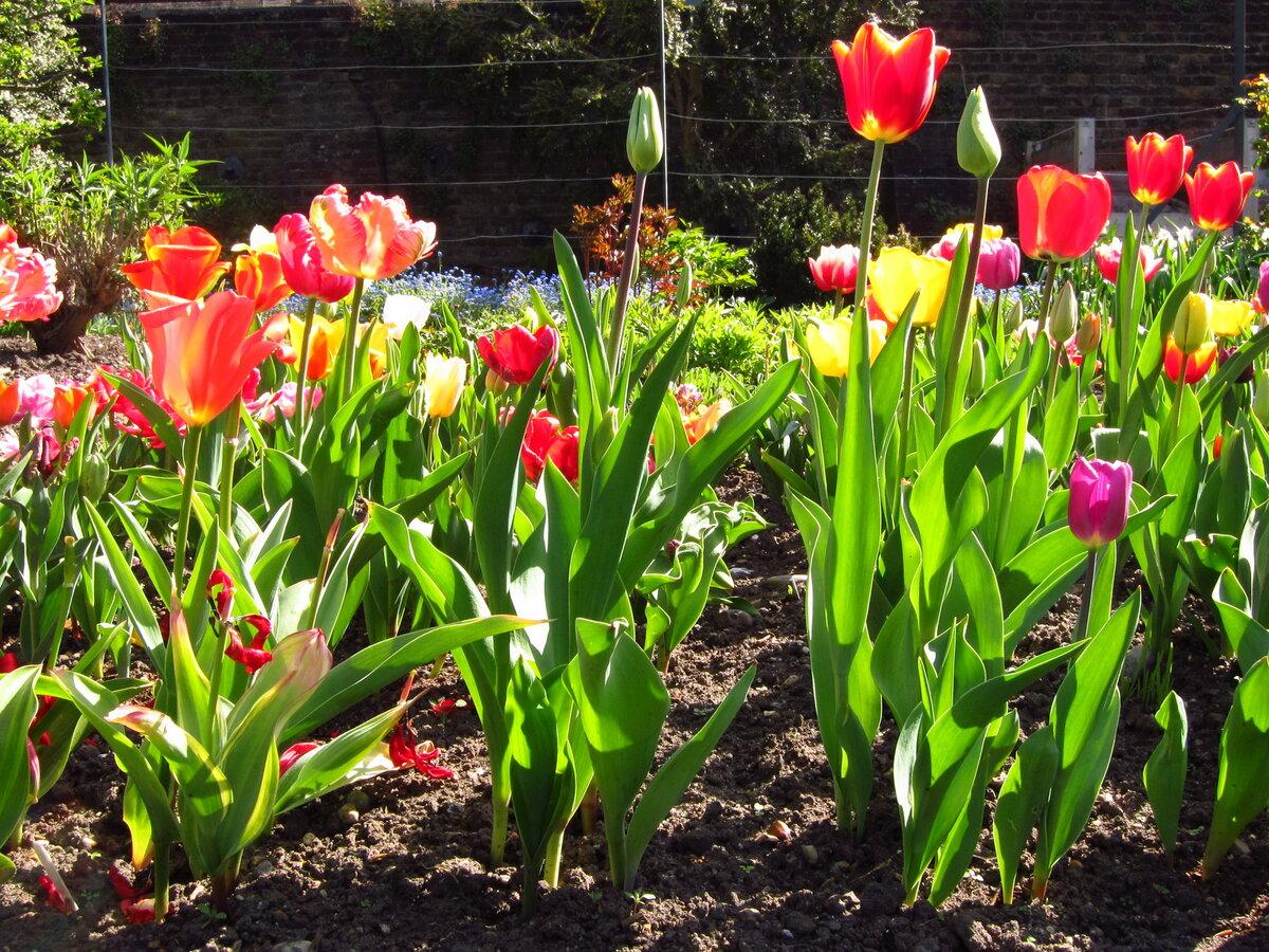Посадка тюльпанов картинки